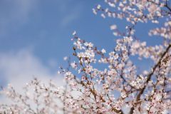 美丽樱花 免版税图库摄影