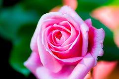 美丽浅粉红色上升了 库存照片