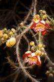 美丽热带tCannon球树花卉生长在雨林里 图库摄影