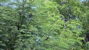 美丽煤烟灰带头的歌手Pycnonotus aurigaster 双翼飞机 影视素材