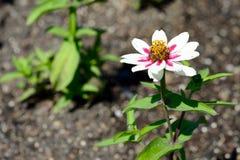 美丽白色和桃红色花卉生长在庭院里 库存照片