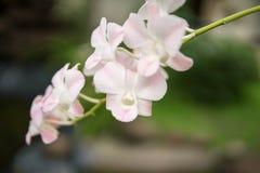 美丽白色和软绵绵地桃红色或者兰花植物或飞蛾石斛兰属兰花, 免版税库存照片