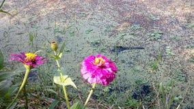 美丽百日菊属的花 库存照片