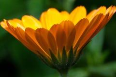美丽的万寿菊在一个绿色草甸增长 活自然 库存照片