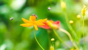 美丽的万寿菊庭院和蜂 免版税库存图片