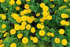 美丽的万寿菊背景在庭院里开花 库存照片