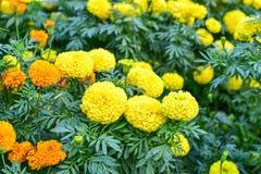 美丽的万寿菊花在公园 免版税库存照片