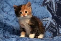 美丽的三色蓬松小猫 免版税库存图片
