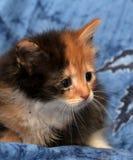 美丽的三色蓬松小猫 图库摄影