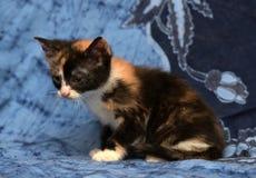 美丽的三色蓬松小猫 免版税图库摄影