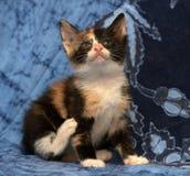 美丽的三色蓬松小猫 库存图片