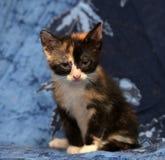 美丽的三色蓬松小猫 库存照片