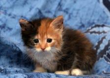 美丽的三色蓬松小猫 免版税库存照片