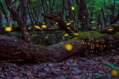 美丽的不可思议的萤火虫在被迷惑的神仙的森林的夏天 库存图片
