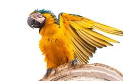 美丽的与开放翼的金刚鹦鹉蓝色和黄色鸟 库存图片