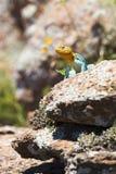 美丽的东部抓住衣领口的蜥蜴 免版税库存照片