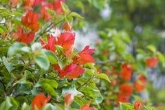 美丽的九重葛花。 图库摄影