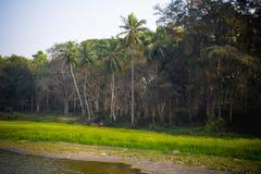 美丽的乡下农村夏天风景与开花的油菜籽领域和围拢与树绿色在日落 r 图库摄影