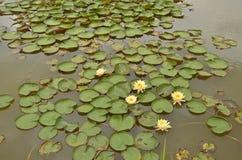 美丽的五朵荷花花在池塘 免版税库存图片