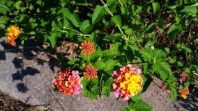 美丽的五颜六色的万寿菊 库存照片