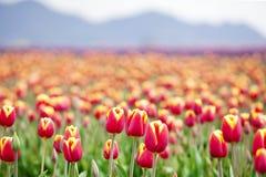 美丽的五颜六色的域郁金香 免版税图库摄影