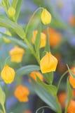 美丽的五颜六色的嫩桔子开花背景 免版税库存照片