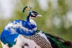 美丽的五颜六色的孔雀---孔雀 免版税库存图片