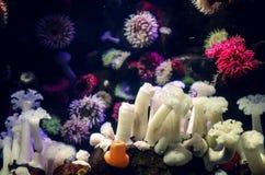 美丽的五颜六色的海葵,温暖的颜色的几种不同的类型 免版税图库摄影