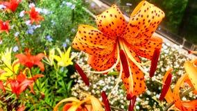 美丽的五颜六色的百合花 免版税图库摄影