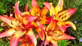 美丽的五颜六色的百合花 库存照片