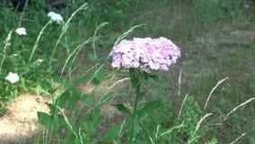 美丽的五颜六色的石竹花石竹中华开花在庭院里 股票录像