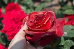 美丽的五颜六色的罗斯花在手中 库存照片