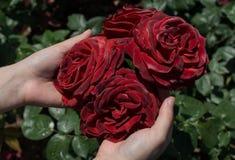 美丽的五颜六色的罗斯花在手中 免版税图库摄影
