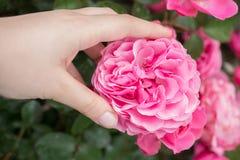 美丽的五颜六色的罗斯花在手中 免版税库存图片