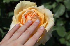 美丽的五颜六色的罗斯花在手中 库存图片