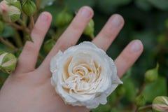 美丽的五颜六色的罗斯花在手中 免版税库存照片