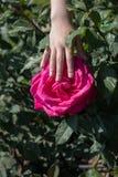 美丽的五颜六色的罗斯花在手中 图库摄影