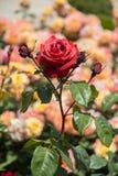 美丽的五颜六色的罗斯花 免版税库存照片