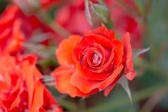 美丽的五颜六色的罗斯花 免版税图库摄影
