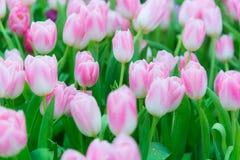 美丽的五颜六色的郁金香花 库存照片