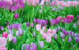 美丽的五颜六色的郁金香花 免版税图库摄影