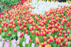 美丽的五颜六色的郁金香花 免版税库存图片