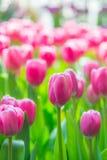 美丽的五颜六色的郁金香花 免版税库存照片