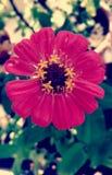 美丽的五颜六色的雏菊花 免版税库存图片