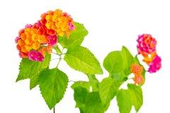 美丽的五颜六色的马樱丹属camara花在白色ba被隔绝 库存图片