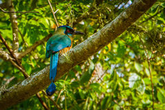 美丽的五颜六色的鸟- Motmot在哥伦比亚 免版税图库摄影