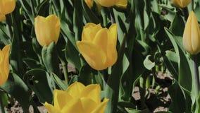 美丽的五颜六色的黄色郁金香花英尺长度在春天庭院里开花 装饰郁金香花开花春天 股票视频