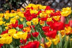 美丽的五颜六色的黄色红色郁金香花 免版税库存图片