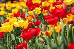 美丽的五颜六色的黄色红色郁金香花 免版税库存照片