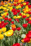 美丽的五颜六色的黄色红色郁金香花 免版税图库摄影